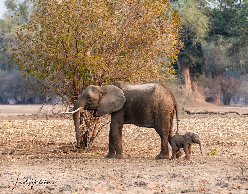 Elephant with small elephant calf in Mana Pools National Park, Zimbabwe