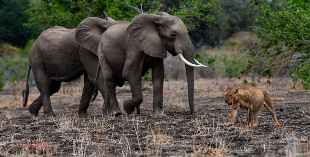 Lion walking by two elephants in Mana Pools National Park, Zimbabwe