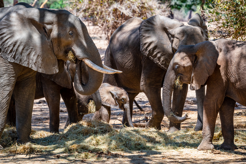 Elephant family herd in Rhodes grass in Mana Pools National Park, Zimbabwe