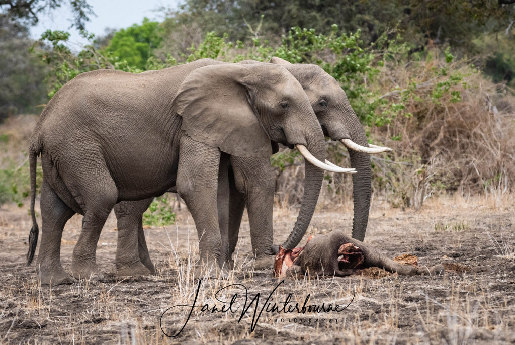 Two elephants by the carcass of an elephant calf in Mana Pools National Park, Zimbabwe