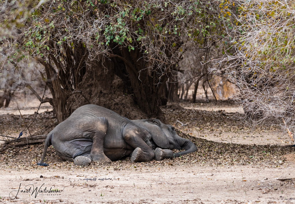An elephant lying on the ground in exhaustion in Mana Pools National Park, Zimbabwe