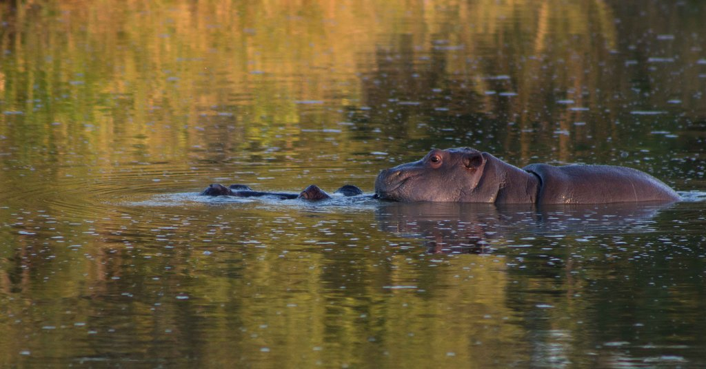 Baby hippo on top of mother in Olifants River, Greater Kruger