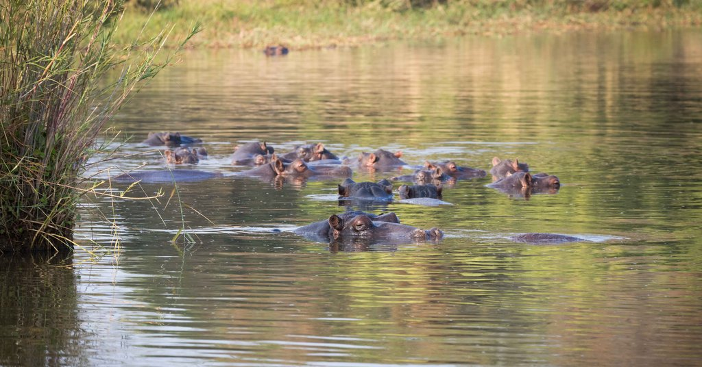 Hippo pod relaxing in Olifants River, Greater Kruger