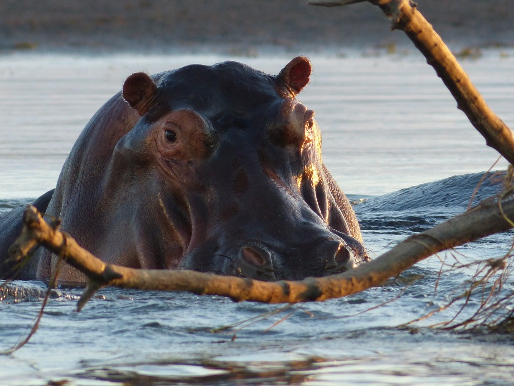 Hippo in Olifants River, Greater Kruger