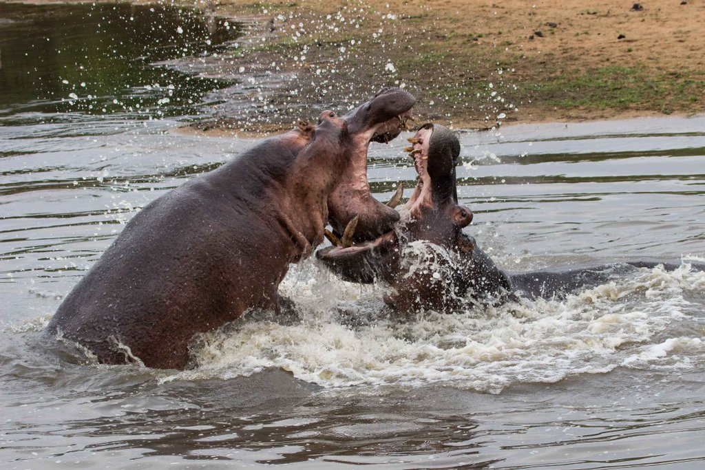 Two male hippos fighting in Olifants River in Greater Kruger