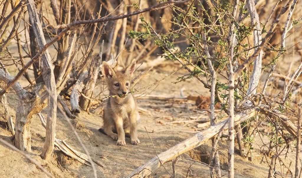 Black-backed jackal pup in Greater Kruger