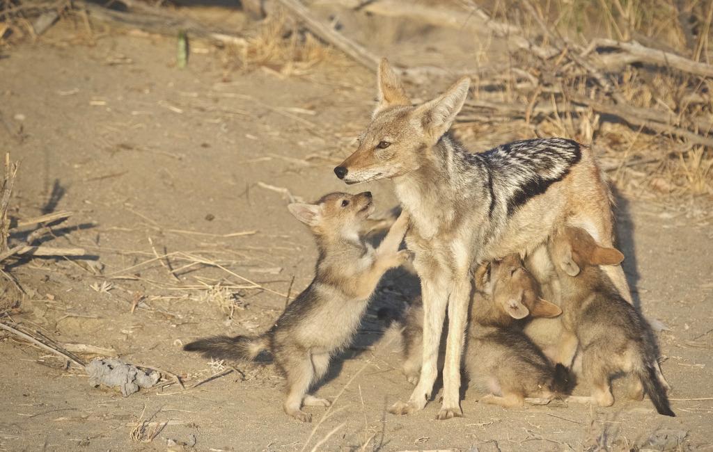 Black-backed jackal mother feeding pups in Greater Kruger