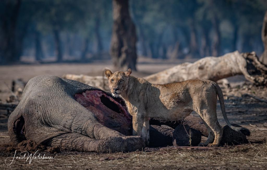 Lion feeding on elephant carcass in Mana Pools National Park, Zimbabwe