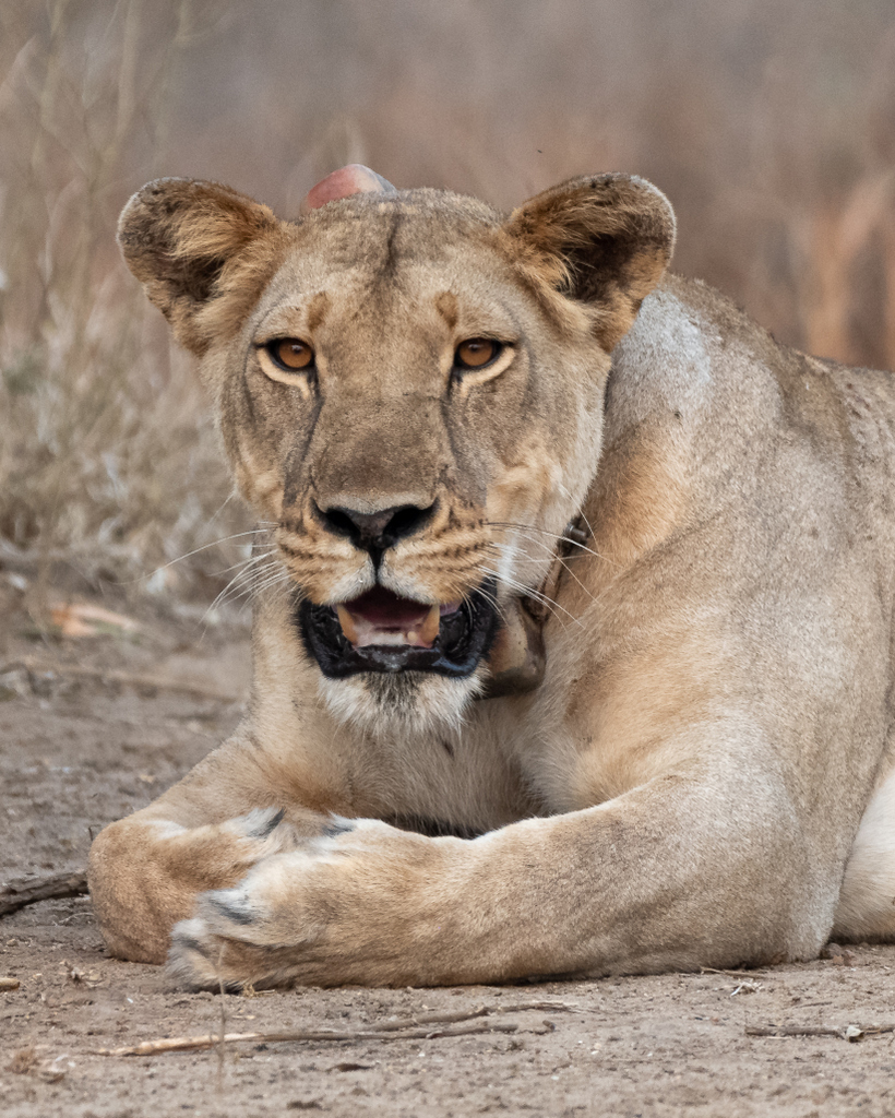 Lioness with collar in Mozambique