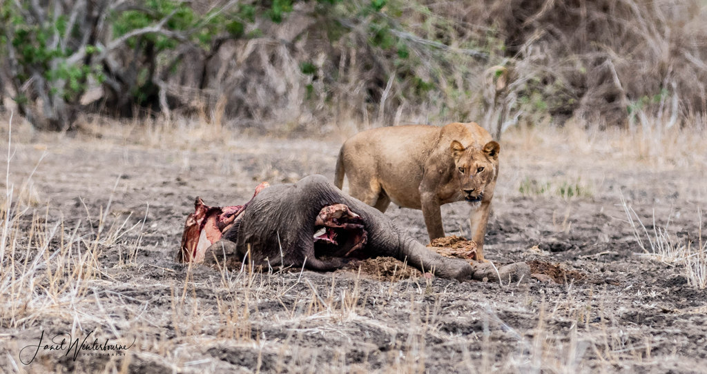Lion at elephant calf carcass in Mana Pools National Park, Zimbabwe