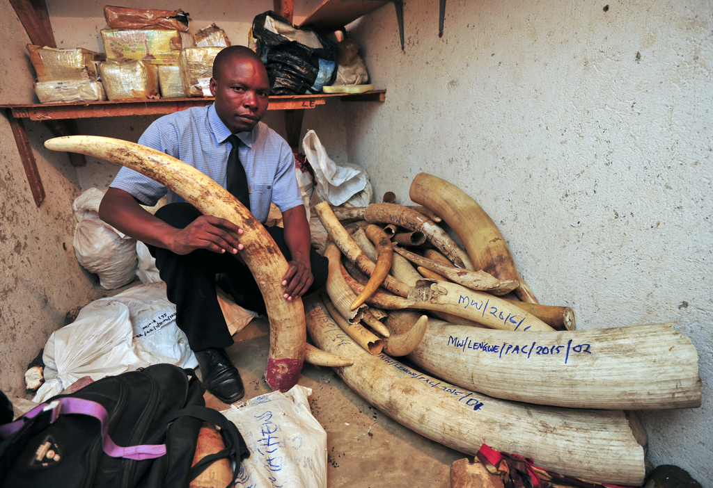 A Malawi enforcement officer shows just some of the ivory recovered from poachers