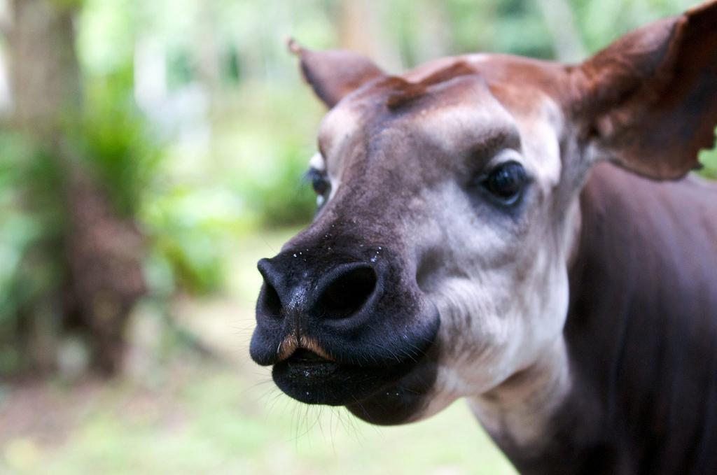 Up close of an okapi
