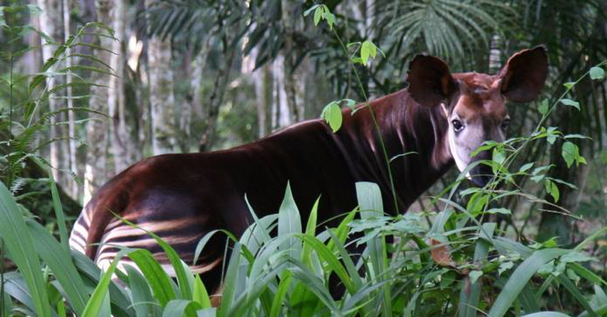 Okapi in the forest in Democratic Republic of Congo