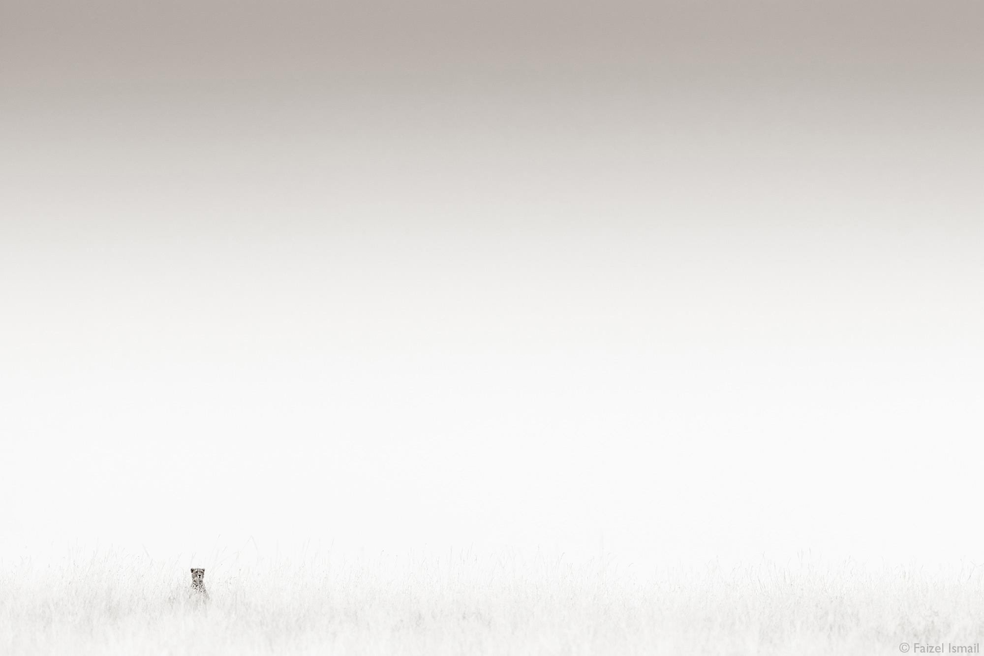 Single cheetah sitting in vast landscape of Maasai Mara, Kenya