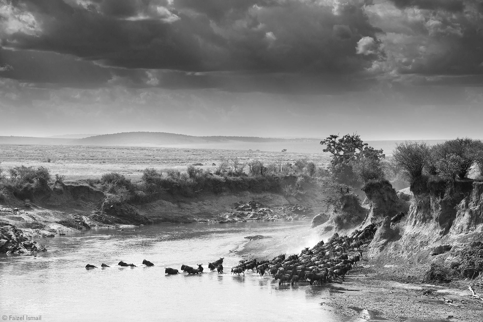 Wildebeest crossing the Mara River in Kenya