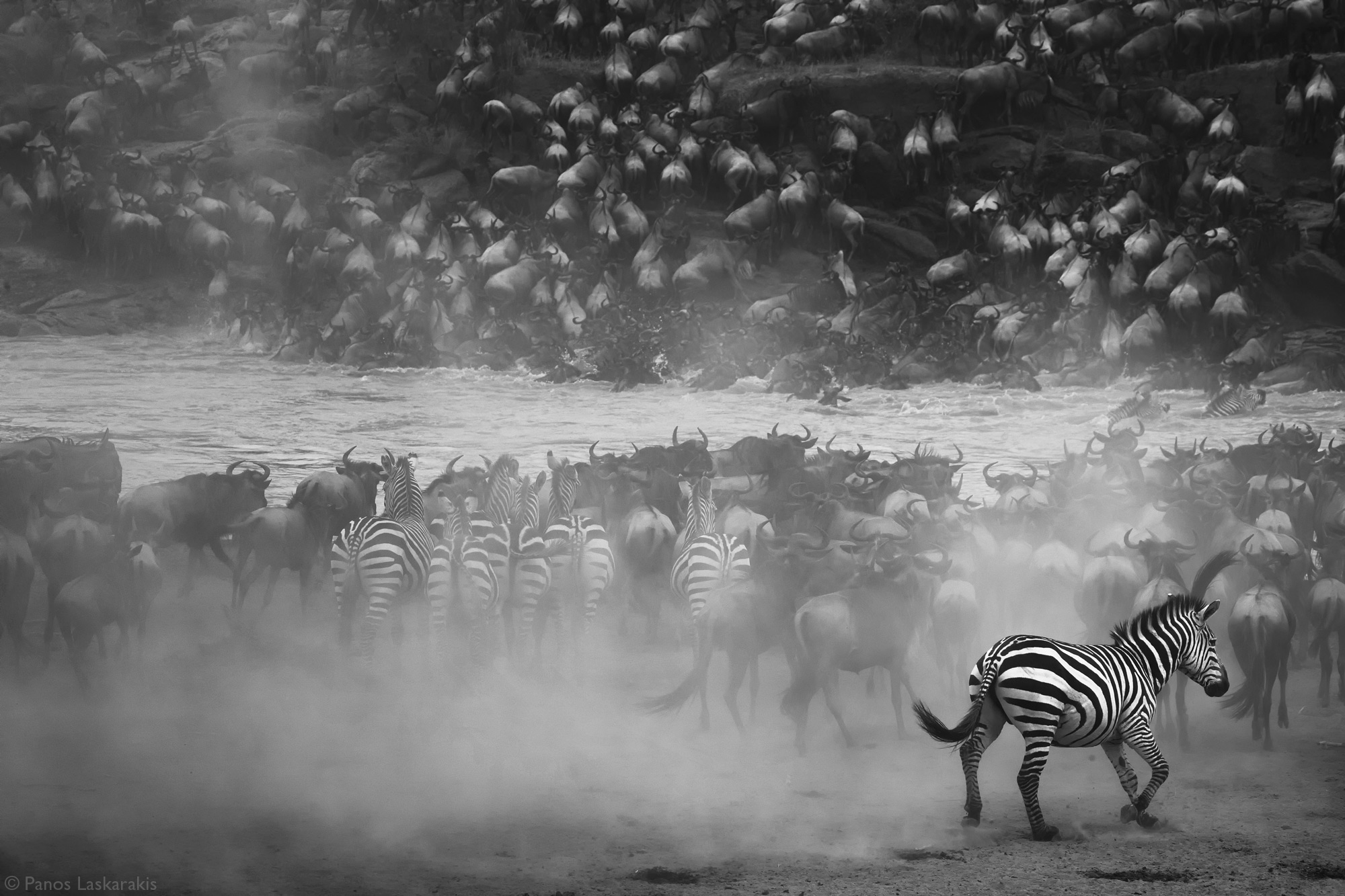 Wildbeest and zebras at the Mara River crossing in Kenya