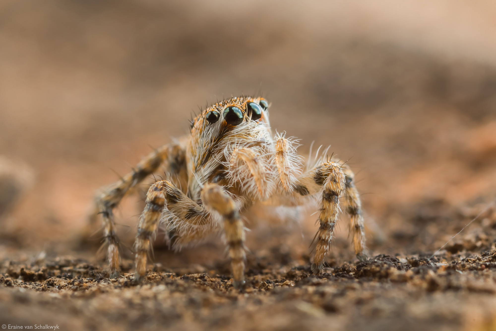 Jumping spider, macro photography, arachnid, Klaserie Private Nature Reserve, South Africa