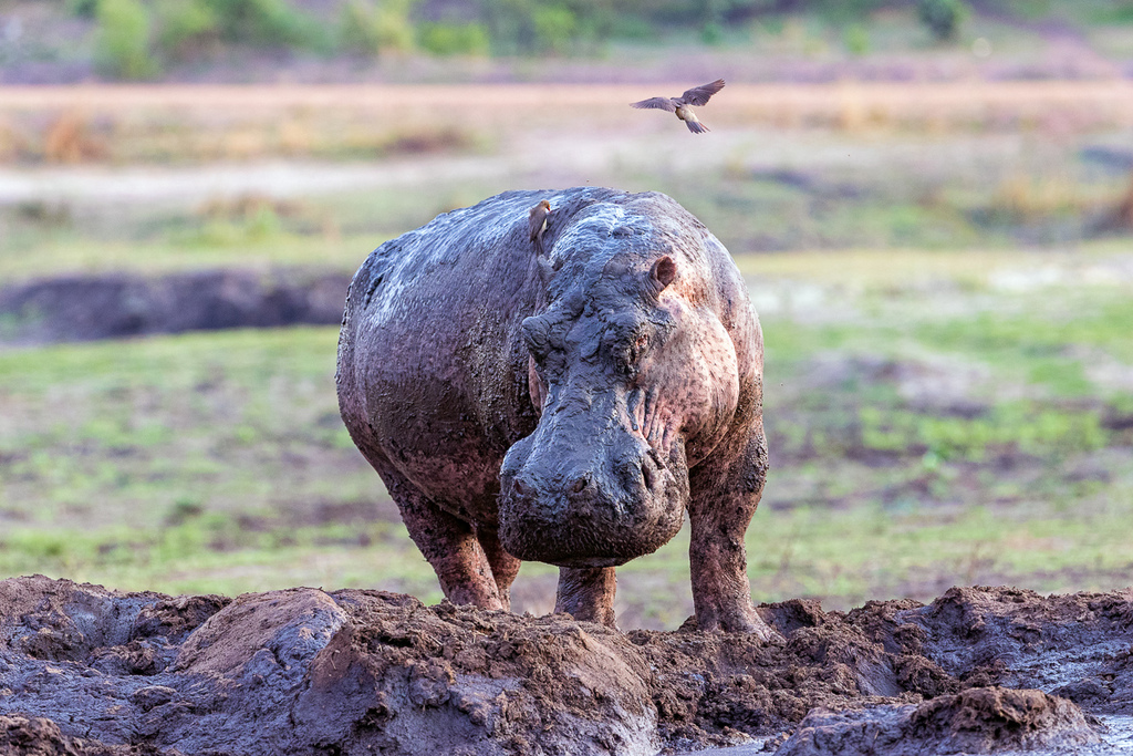 Hippo covered in mud in Kativi, Tanzania