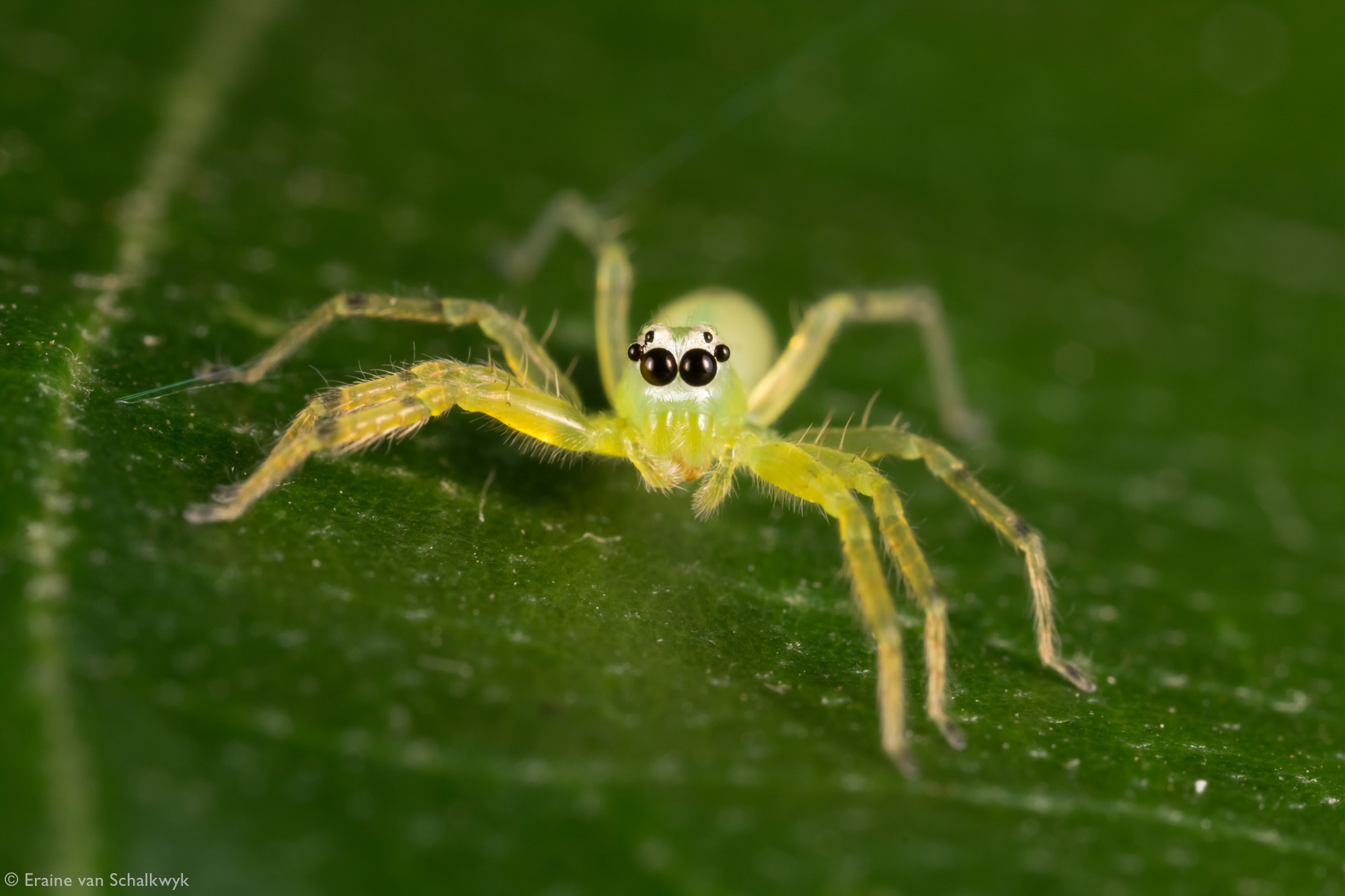 Green jumping spider, spider, arachnid, macro photography