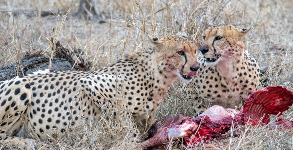 Two cheetahs eating carcass in Manyeleti Private Game Reserve, Greater Kruger