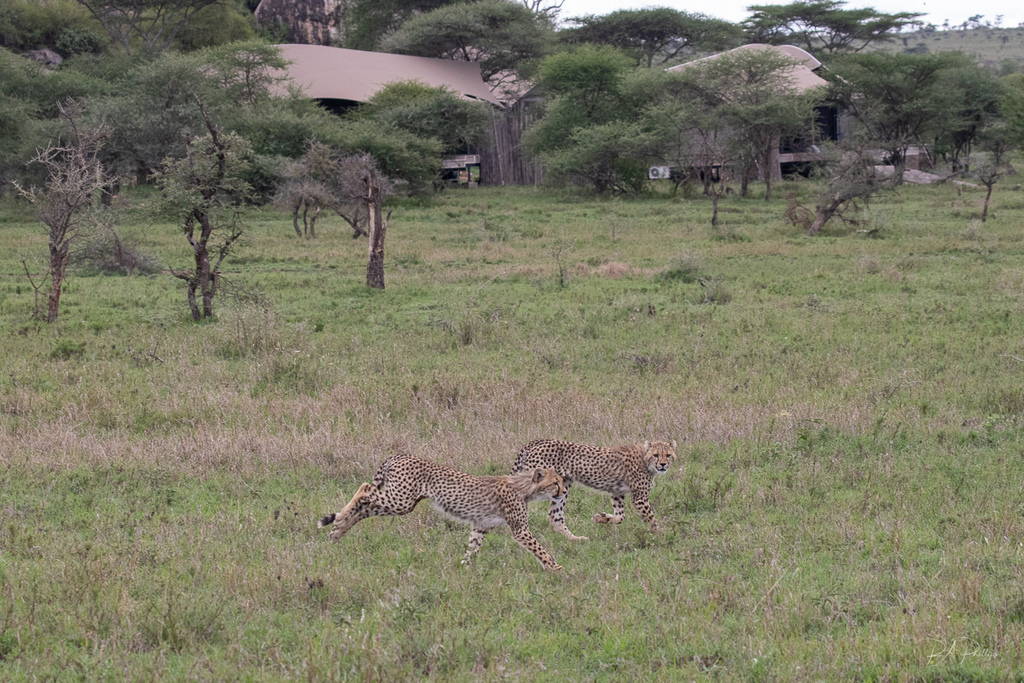 Two cheetah by lodge in Serengeti, Tanzania