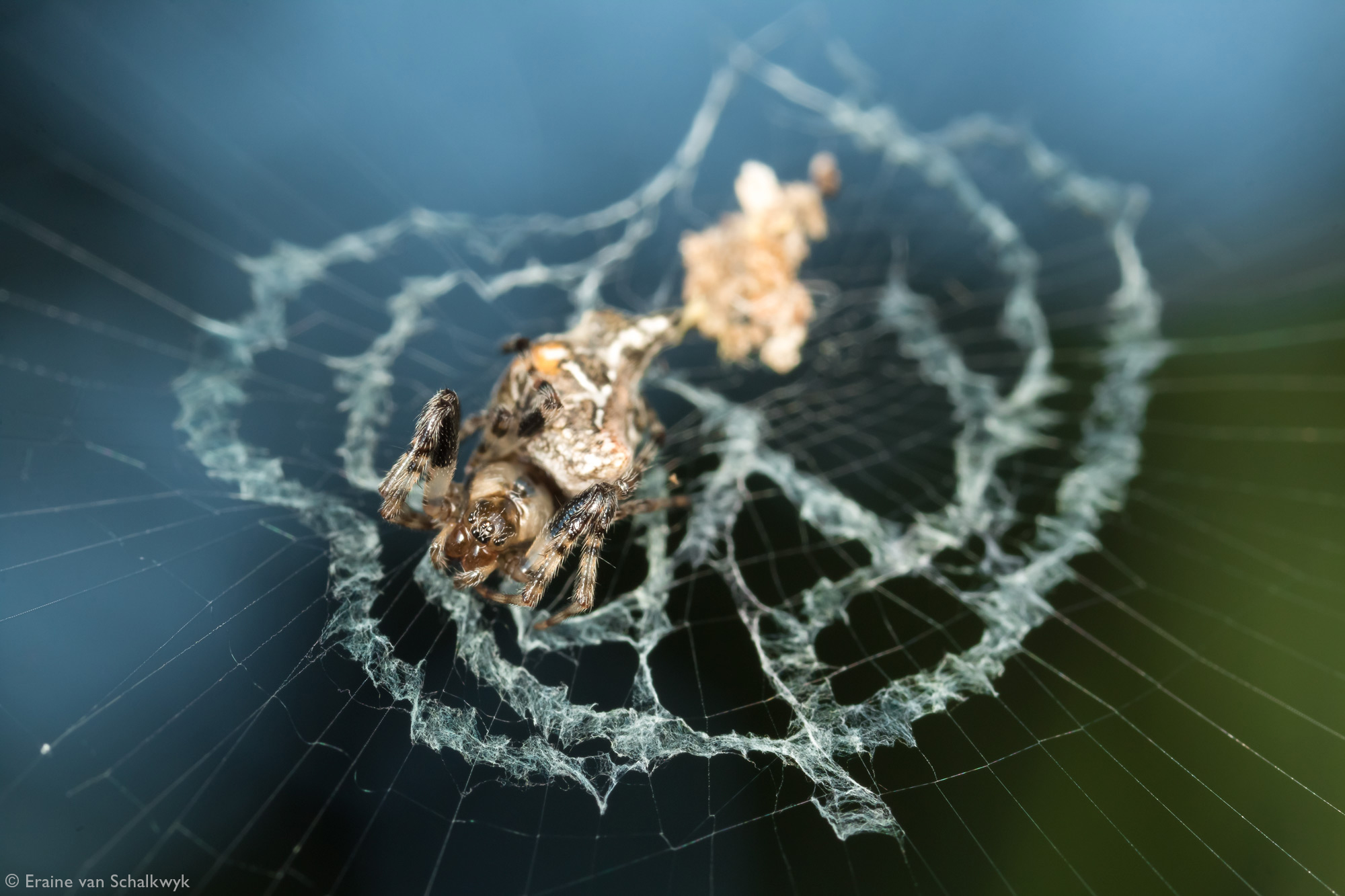 Spider in an orb web, spider, arachnid, macro photography