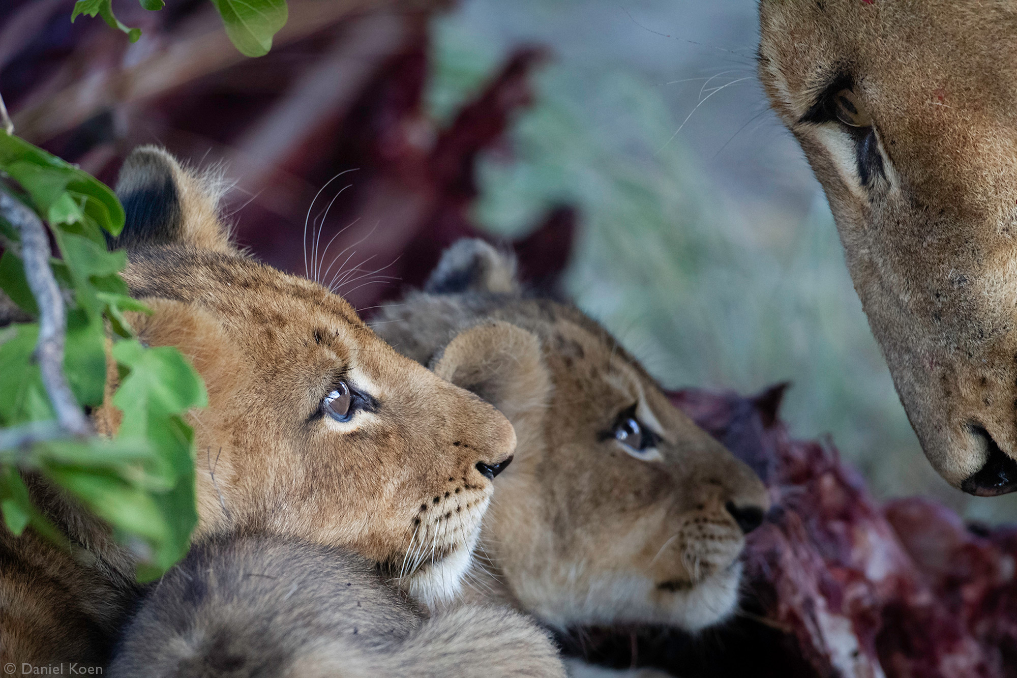 Two lion cubs staring at their mom