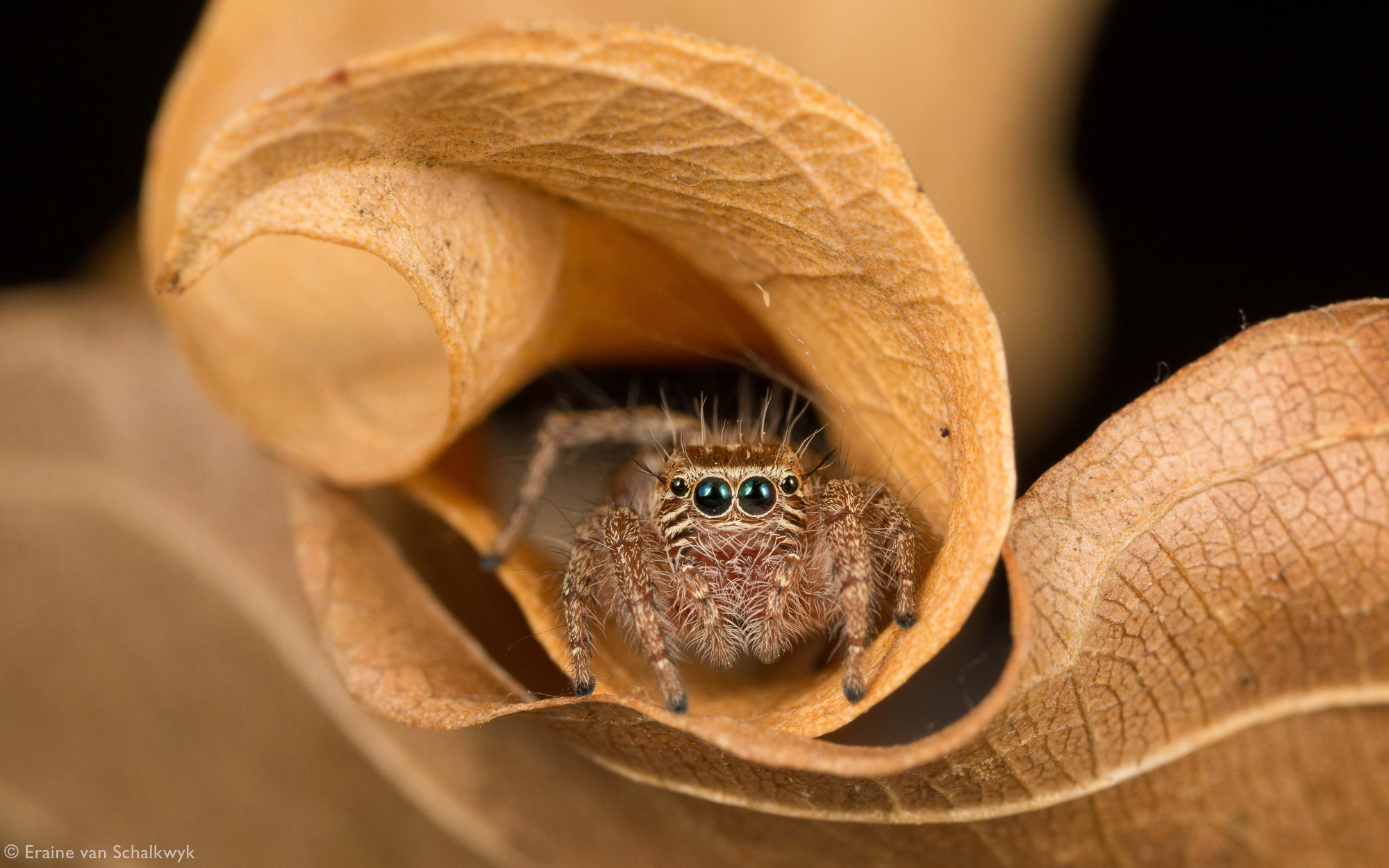 Jumping spider (Hyllus sp.) amongst leaf litter, spider, arachnid, macro photography