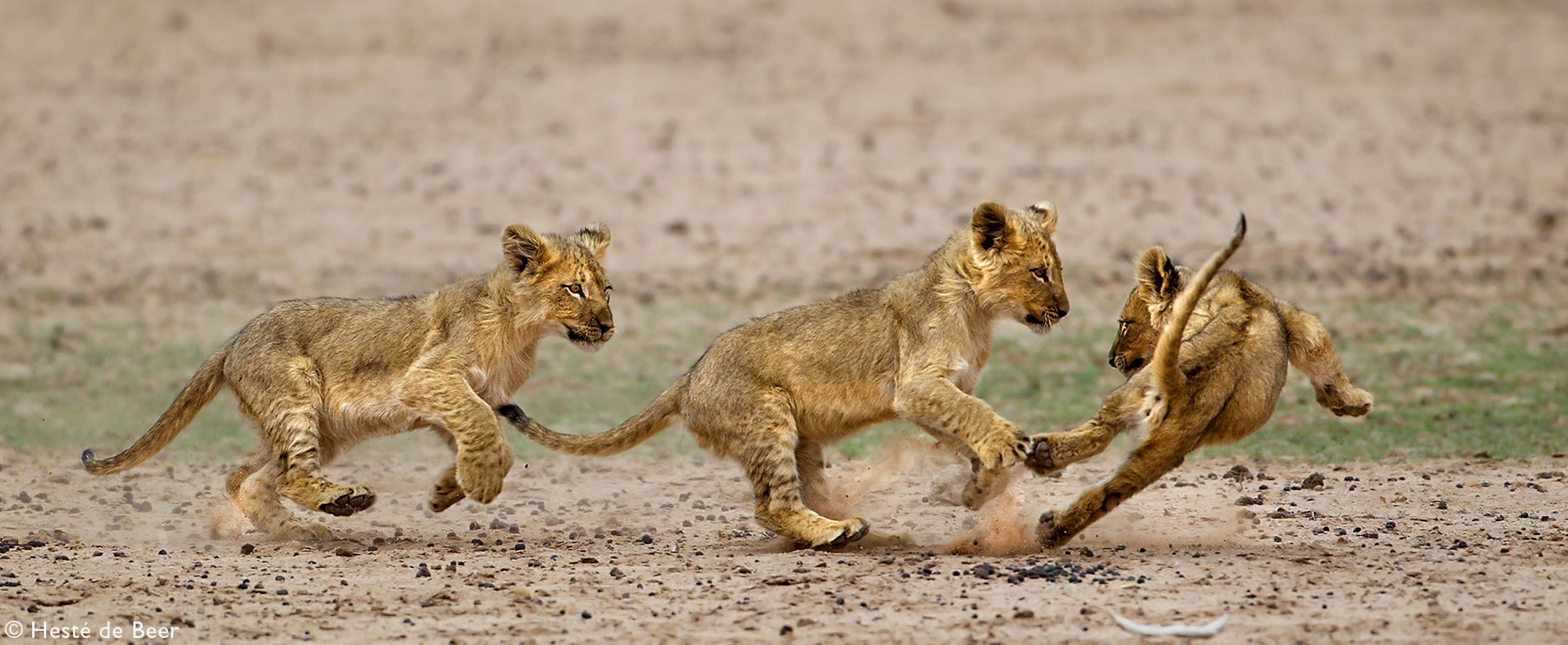 Three lions cubs running and playing with each other