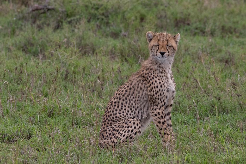 Juvenile cheetah with eyes closed in Serengeti, Tanzania