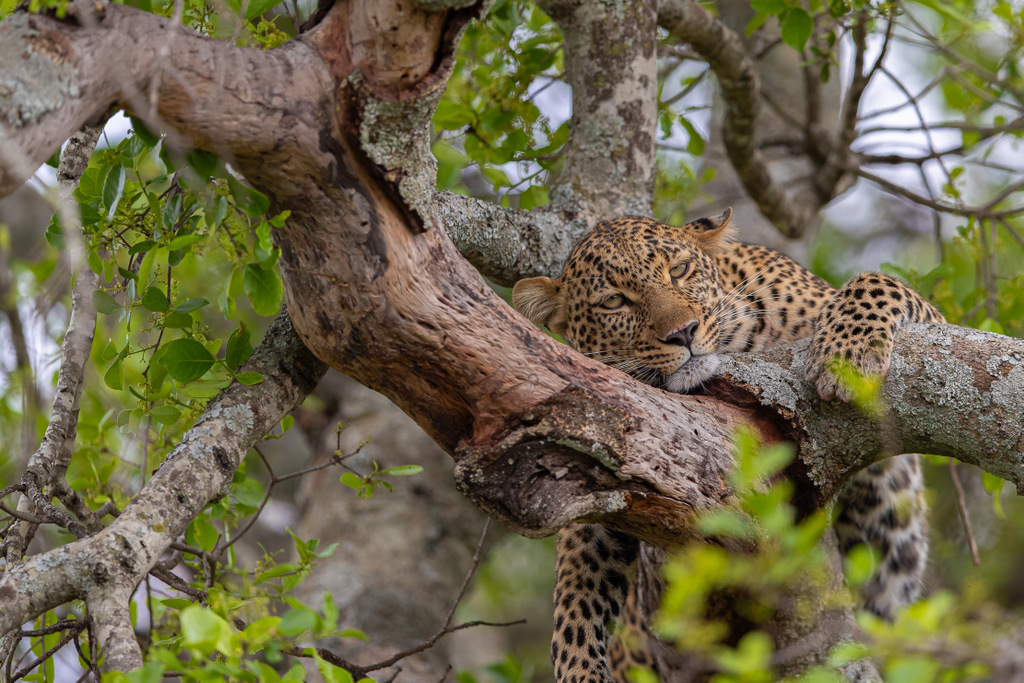 Leopard lying in a tree, Maasai Mara National Reserve, Kenya