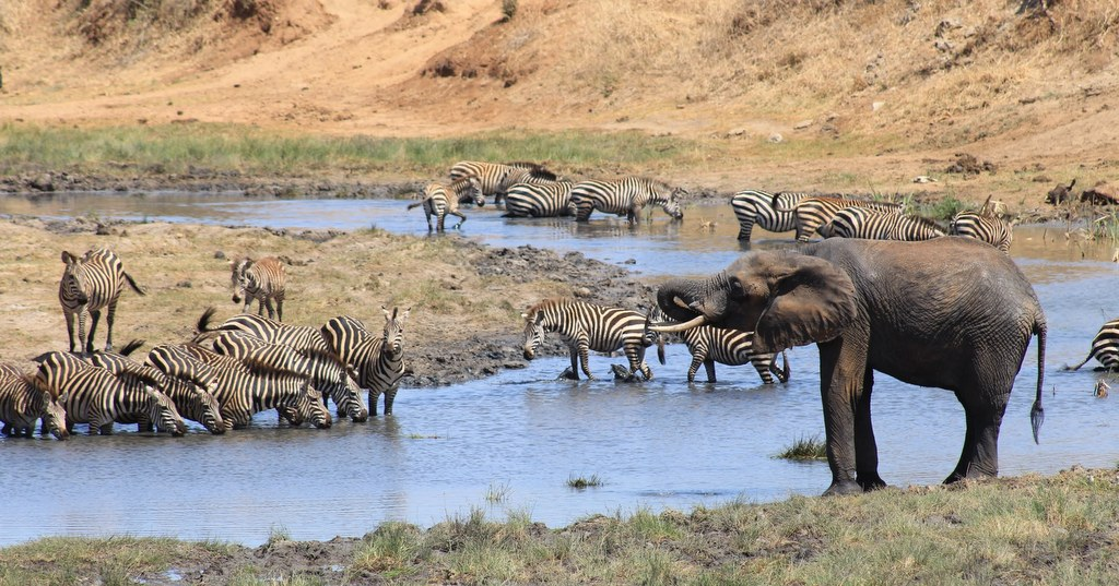 Elephant and zebras at river in Tarangire National Park, Tanzania