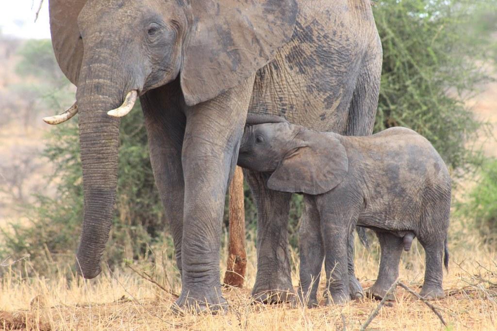 Elephant mother and calf in Tarangire National Park, Tanzania