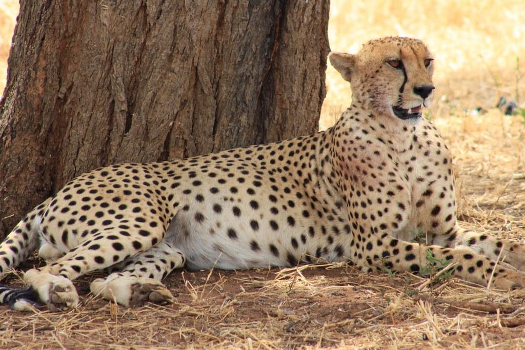 Cheetah resting by tree in Tarangire National Park, Tanzania