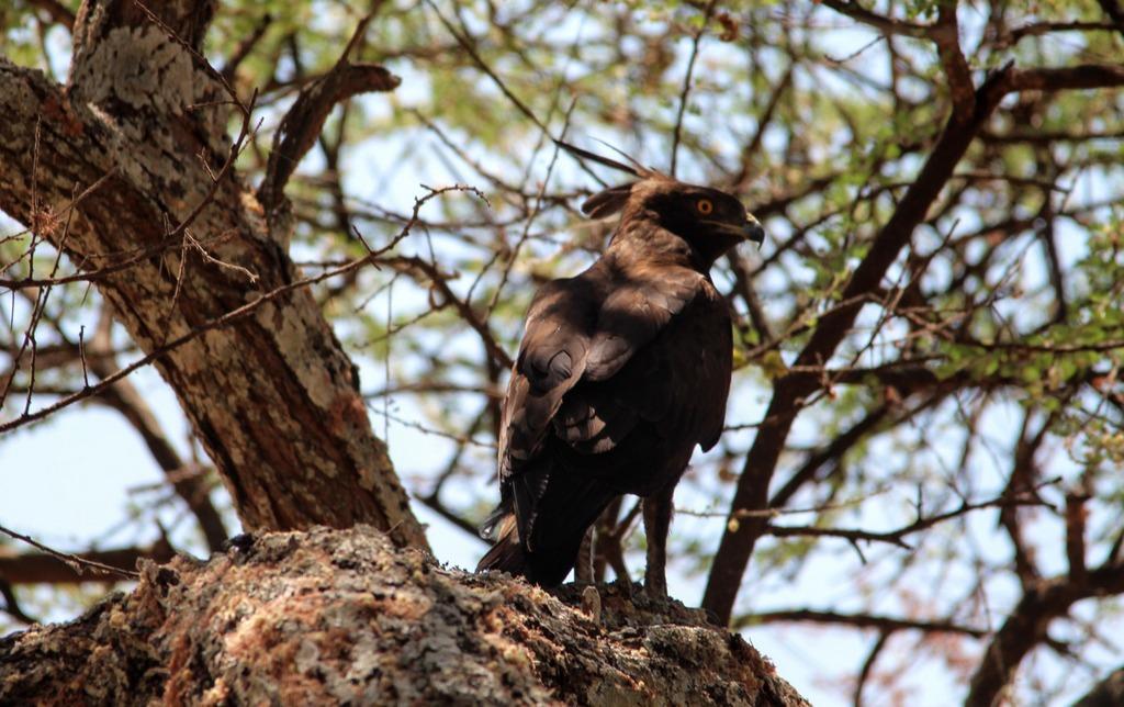 Bird of prey in tree in Tarangire National Park, Tanzania