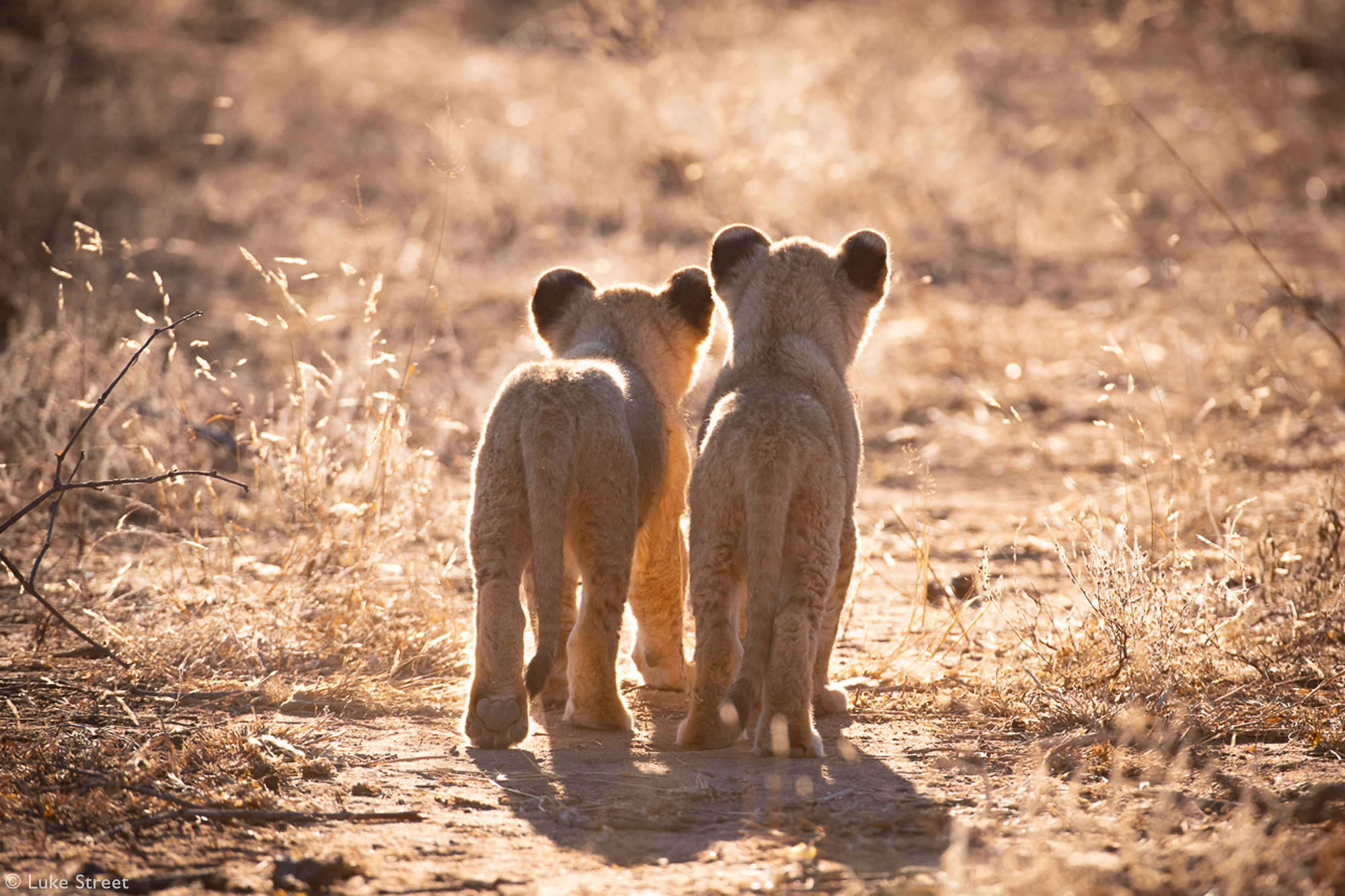 Two lion cubs walking down a sandy road