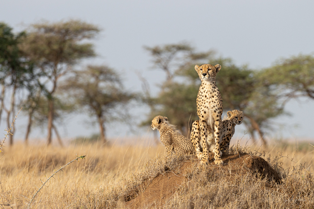 Cheetah with two cheetah cubs in Serengeti, Tanzania