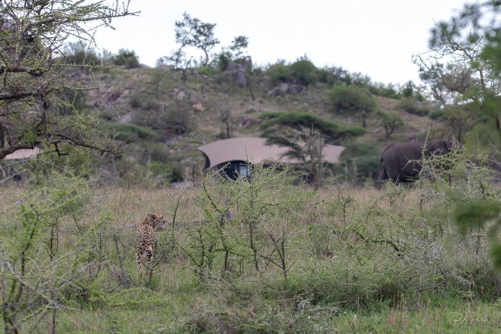 Cheetah and elephant by lodge in Serengeti, Tanzania