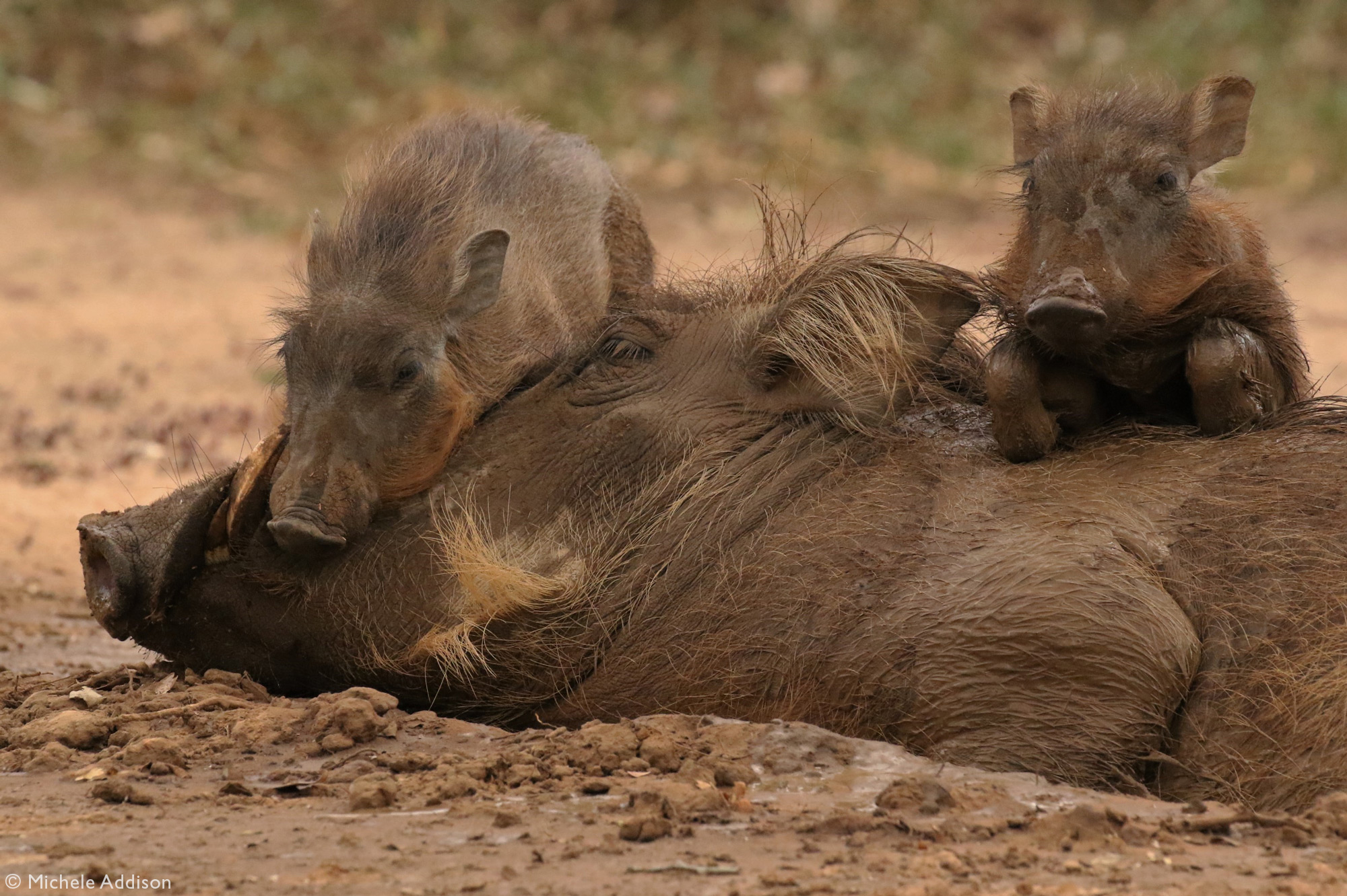 Two warthog piglets lying on their mother