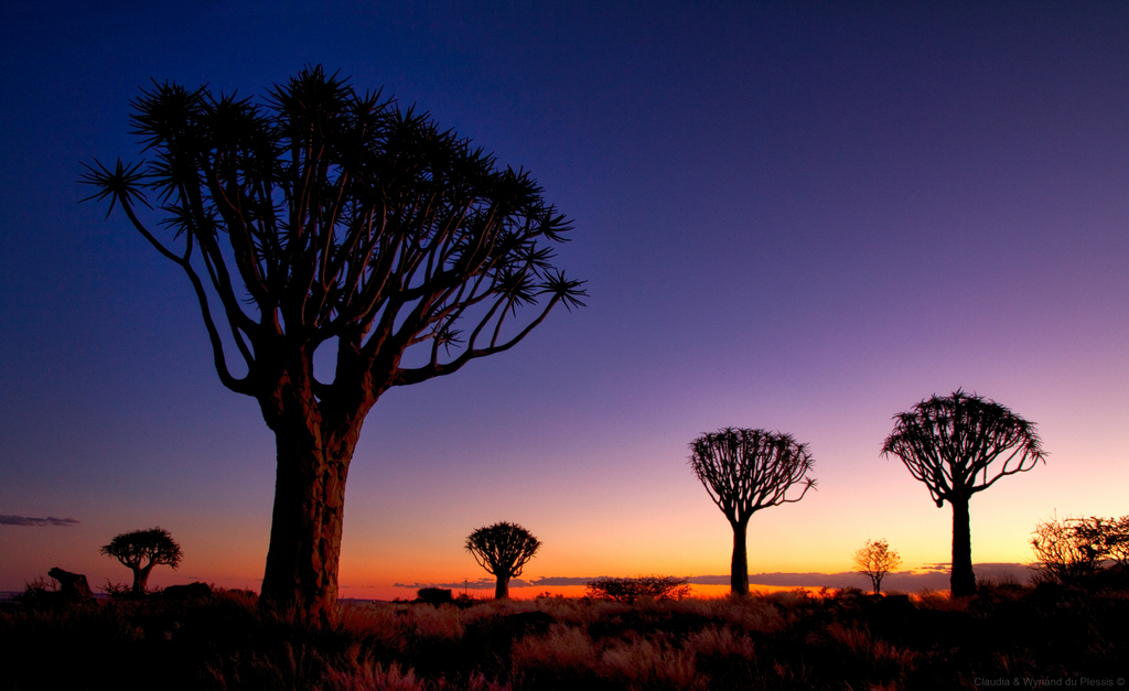 Quiver trees at sunset in southern Namibia