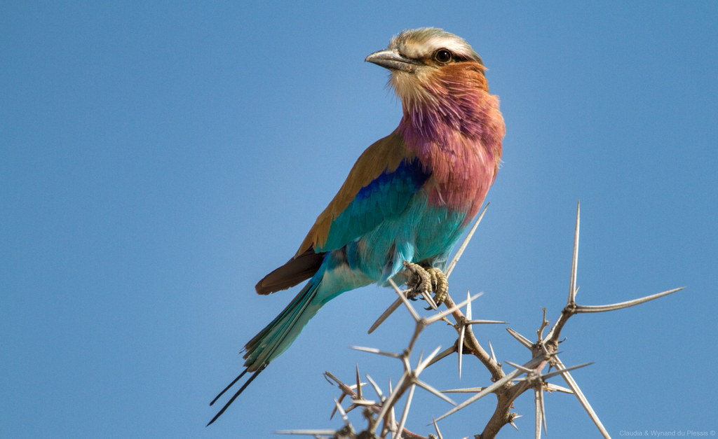 Lilac-breasted roller, bird, avian