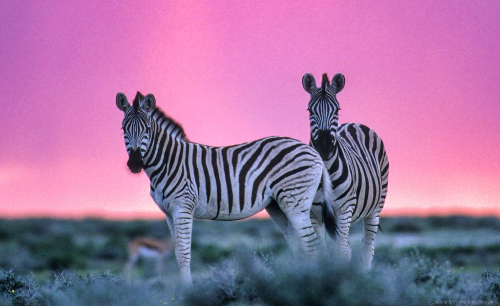 Burchell's zebra in Etosha, Namibia