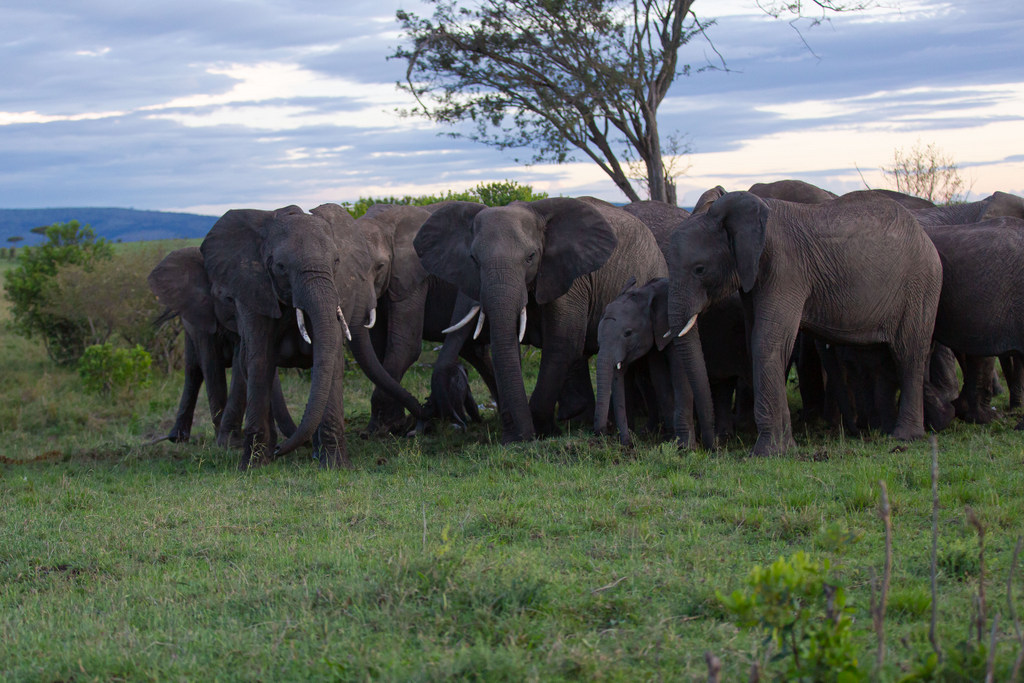 Elephant family herd, Maasai Mara National Reserve, Kenya