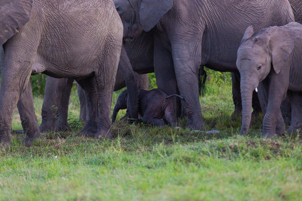 Elephant newborn calf amongst herd, Maasai Mara National Reserve, Kenya