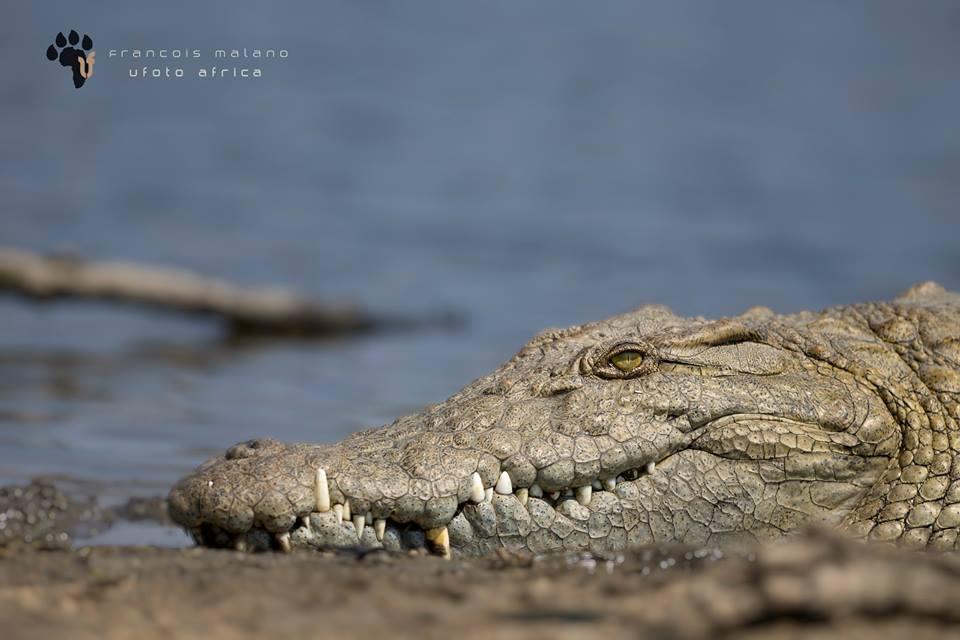 Nile crocodile, reptile