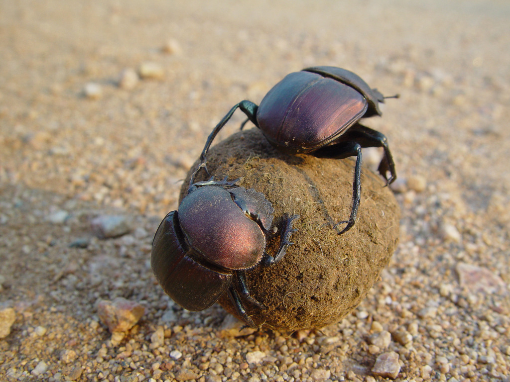 Two dung beetles on a dung ball