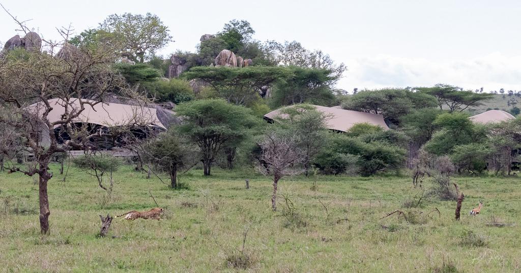 Cheetah chasing gazelle by lodge in Serengeti, Tanzania