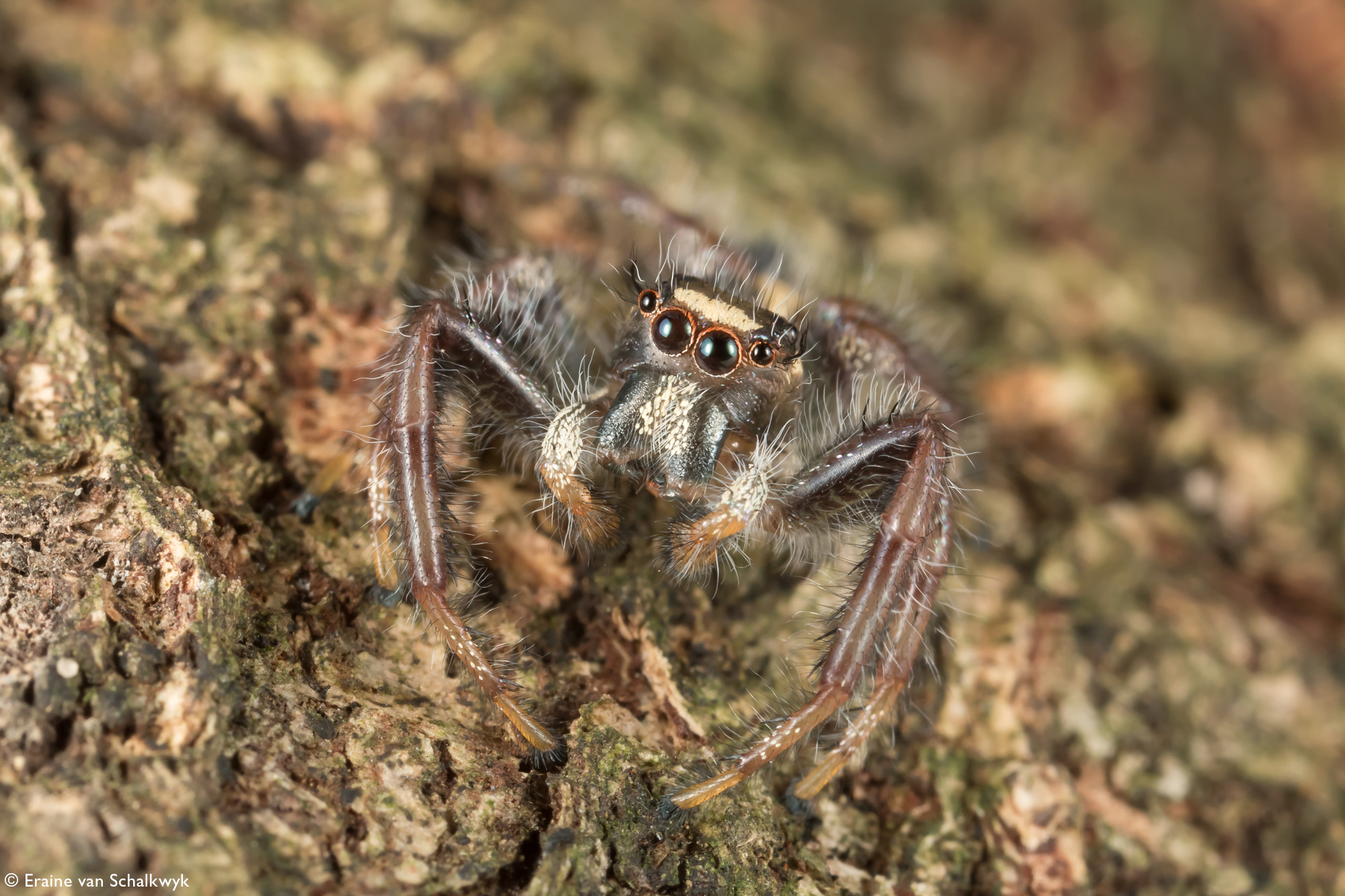 Jumping spider on tree trunk, arachnid, macro photography