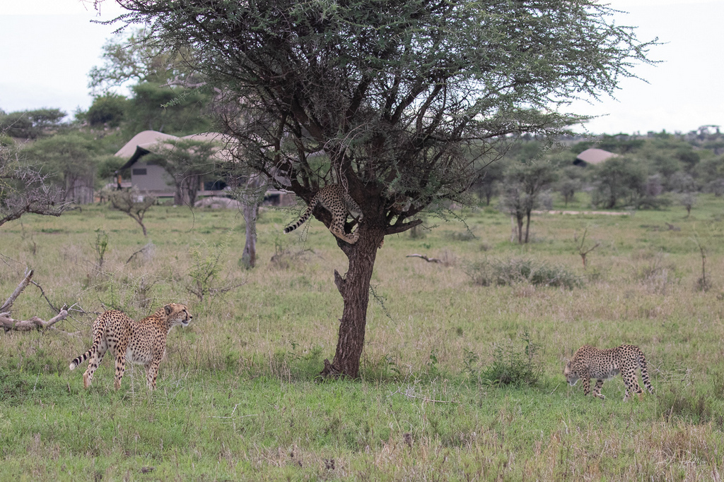 Cheetah mother and two cubs by lodge in Serengeti, Tanzania