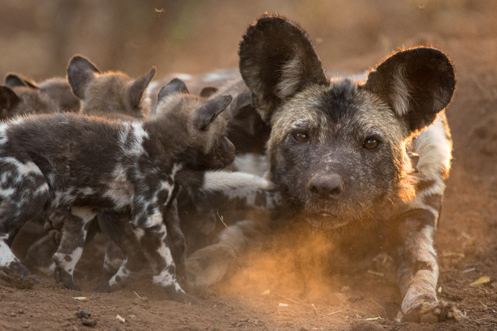 painted wolf, African wild dog, with puppies